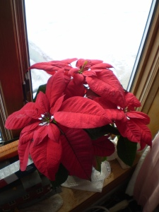 Christmas Poinsettia, 2014