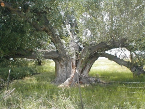 Old cottonwood tree near schoolhouse, Nathrop, Colorado. Photo taken Summer 2001