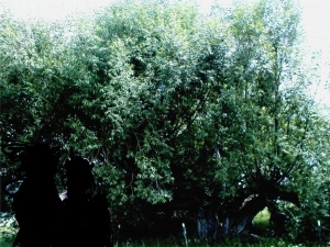 Old cottonwood tree, Nathrop, Colorado, May 2007