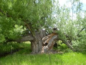 Old Nathrop cottonwood. Taken June 15, 2009