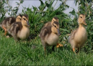 Parade of baby ducks!
