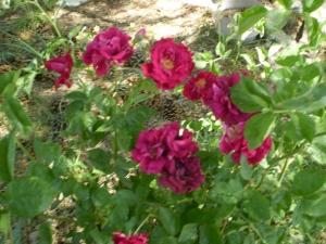 Brian's rose bush
